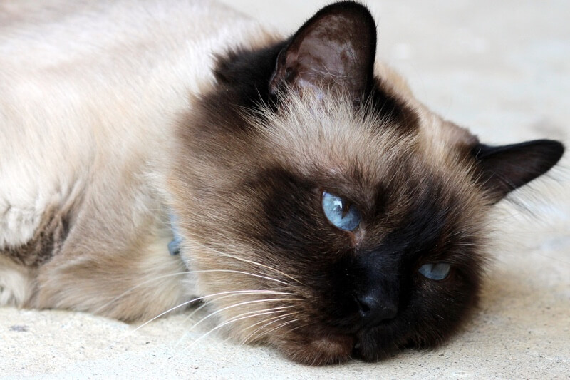 feline leukemia symptoms _ Burmese cat with a blue collar