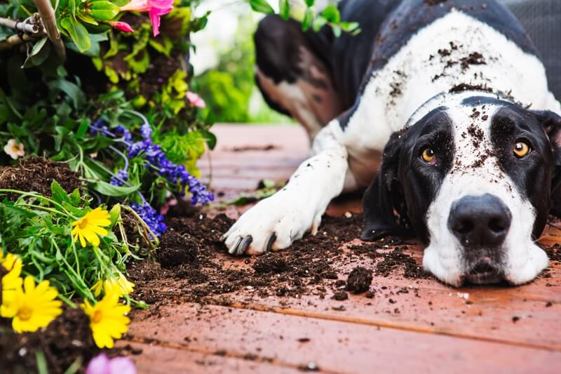 pet-proofing tips for outside your home _ great dane with dirt on his head next to a broken potted plant