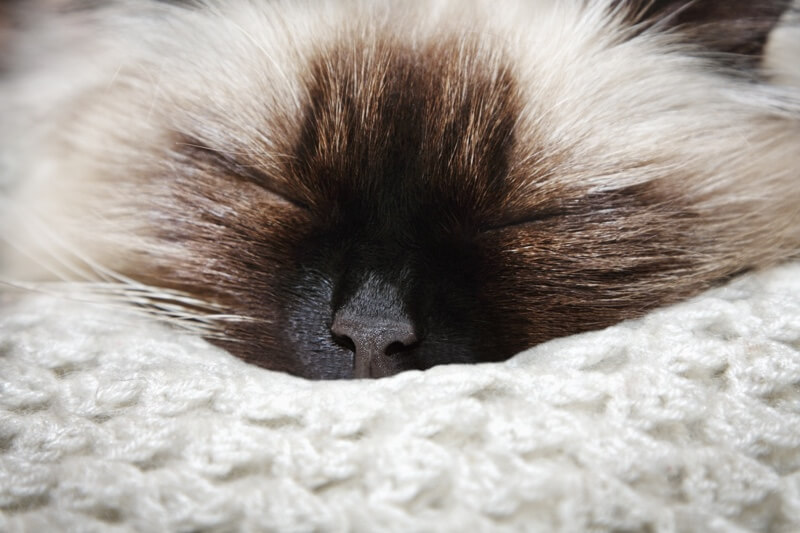 physical and tempermental attributes of Himalayan cats _ himmy sleeping on a blanket