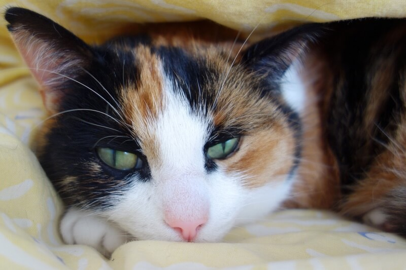 preventing feline leukemia _ tortie cat resting on a yellow blanket