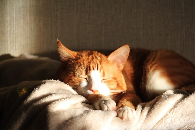treating feline leukemia _ orange tabby cat resting on a white blanket