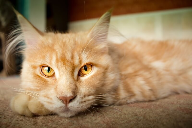common causes of cat vomiting _ orange tabby cat with yellow eyes resting on carpet