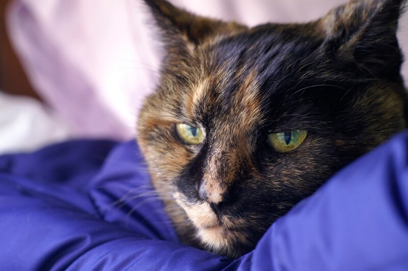 how to lean up cat vomit _ tortie cat resting on a purple blanket