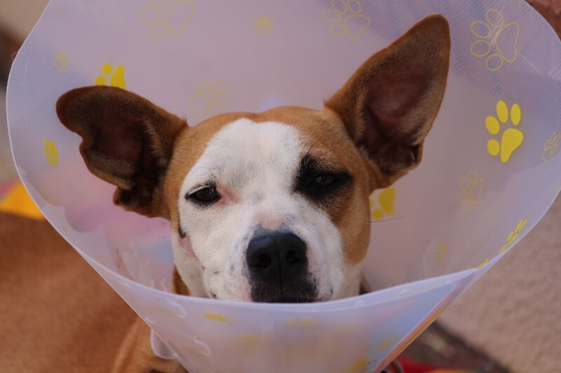 tips for caring for an injured dog _ white and tan dog in a cone of shame
