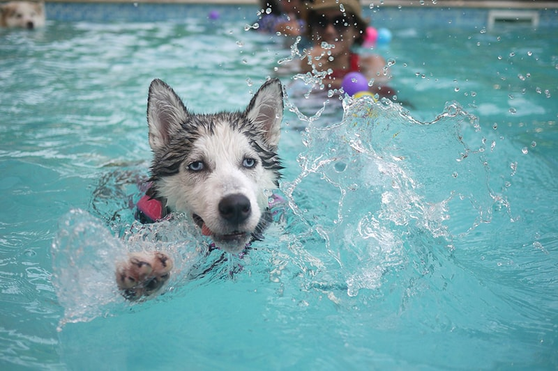 information about leptospirosis and dog _ husky swimming in a pool