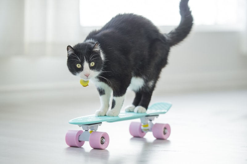 teaching a cat to do tricks _ black and white cat riding a skateboard