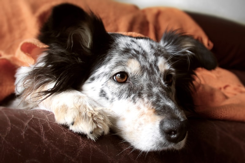 what to do in case of a dog or cat poisoning emergency _ dog resting under an orange blanket