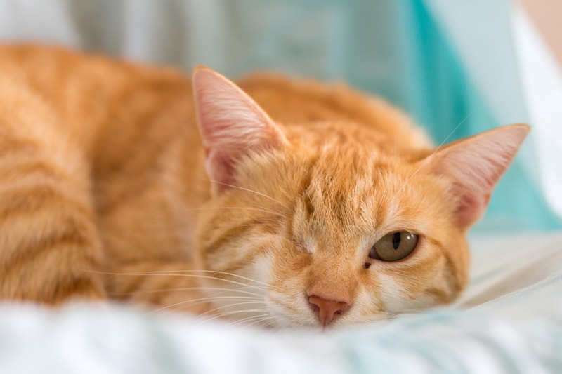 general care tips for dogs and cats with special needs _ orange tabby cat with one eye