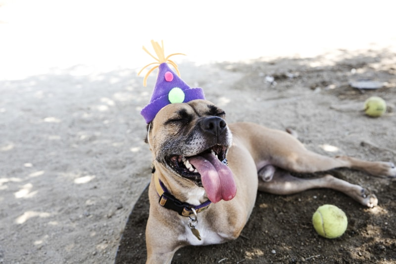 specially-abled pet success stories _ three-legged boxer mix smiling wearing a birthday hat
