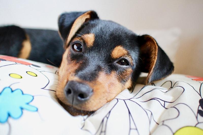 Canine Parvovirus _ Symptoms and Prevention