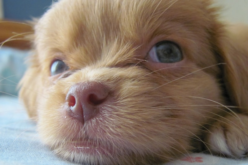 diagnosing parvo in puppies _ small puppy with green eyes