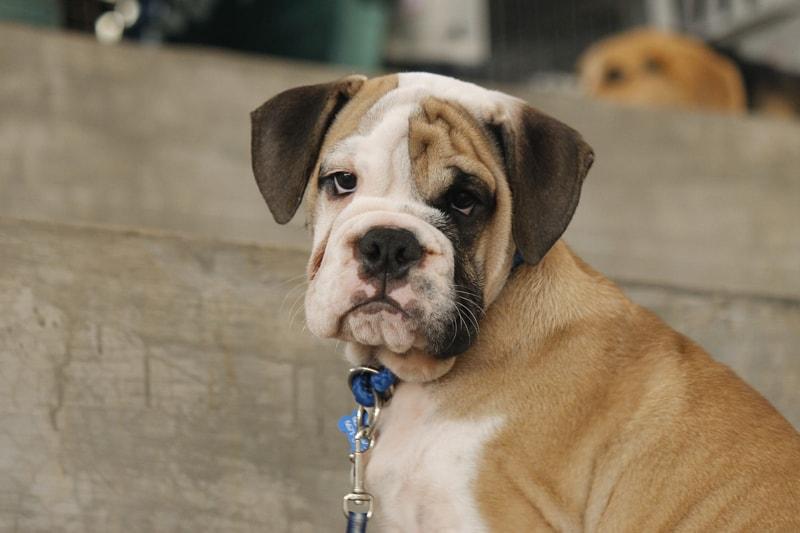 how parvovirus spreads between dogs _ bulldog puppy