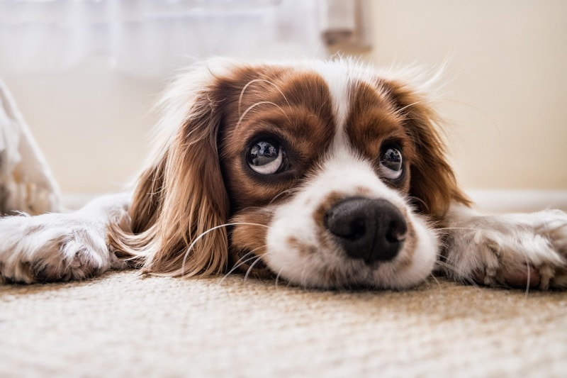 Top Eye Problems for Dogs