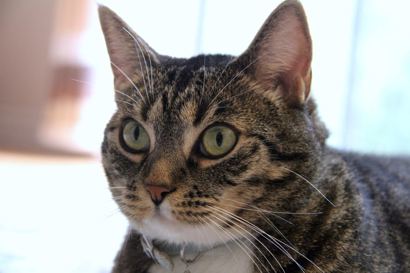 what to consider before socializing your cat _ tabby cat with green eyes