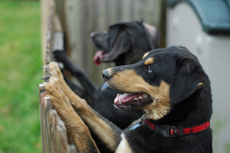 addressing territorial and aggressive behaviors in dogs _ two dogs looking over a fence