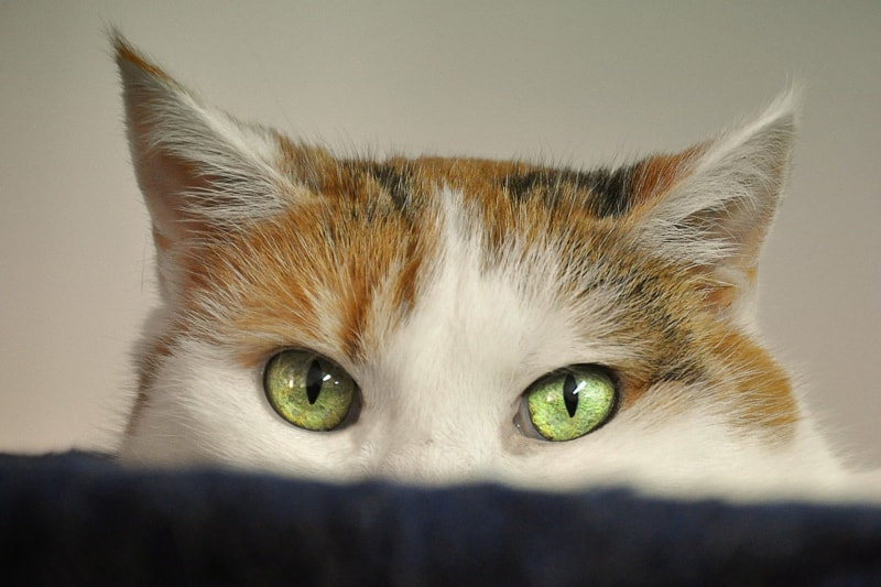 Top Eye Problems for Cats
