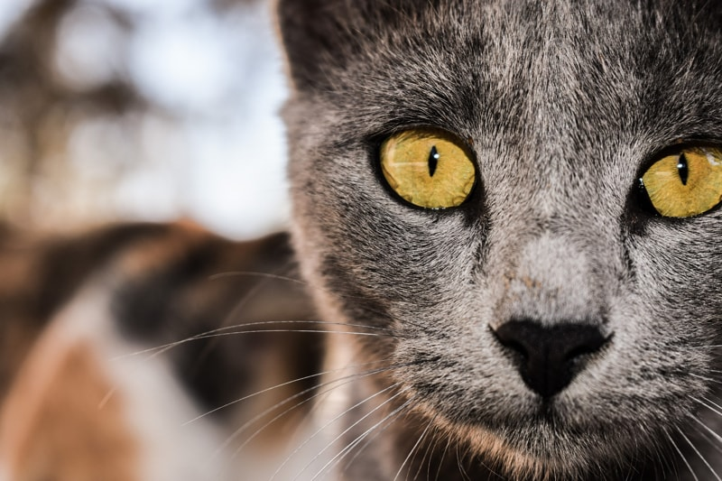anatomy of a cats eye _ grey cat with yellow eyes