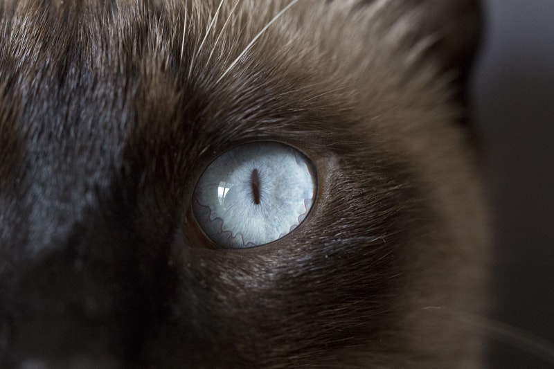eyelid mass and cataracts in cats _ Siamese cat with blue eyes