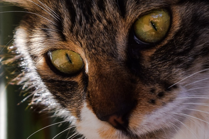 glaucoma entropion and keratitis in cats _ tabby cat with green eyes