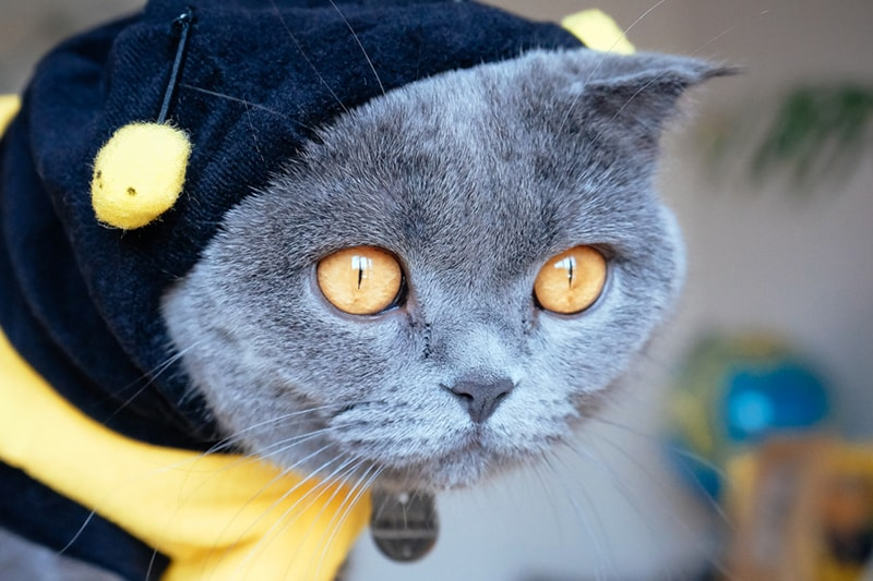 pet costume safety for thanksgiving _ grey cat dressed as a bee