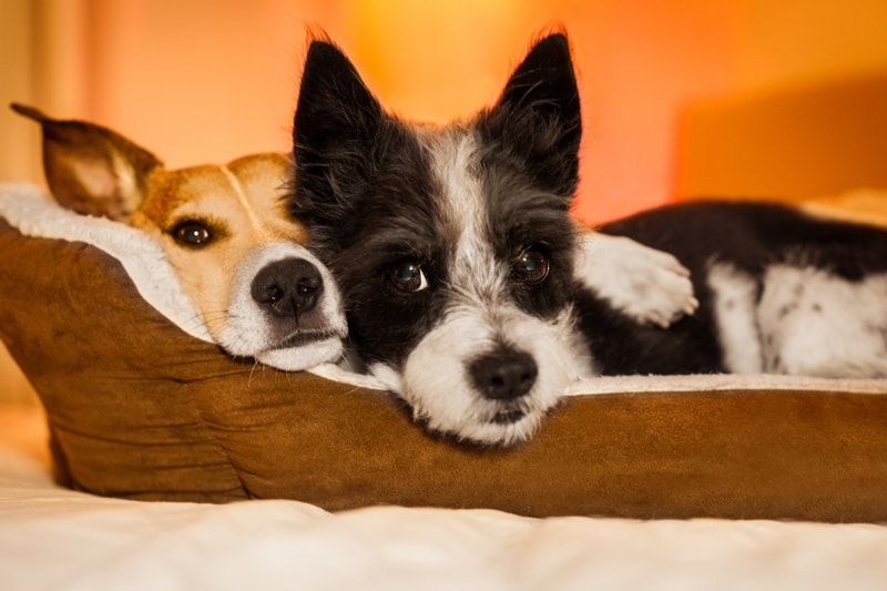 how to be a good houseguest with a pet _ two dogs cuddling in a pet bed