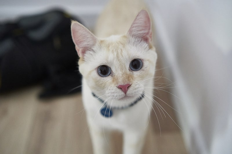 why cats mark territory _ white cat with blue eyes