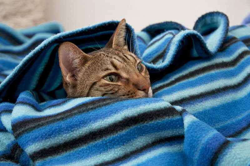 tips for keeping cat ears healthy _ tabby cat popping head out of a blue blanket