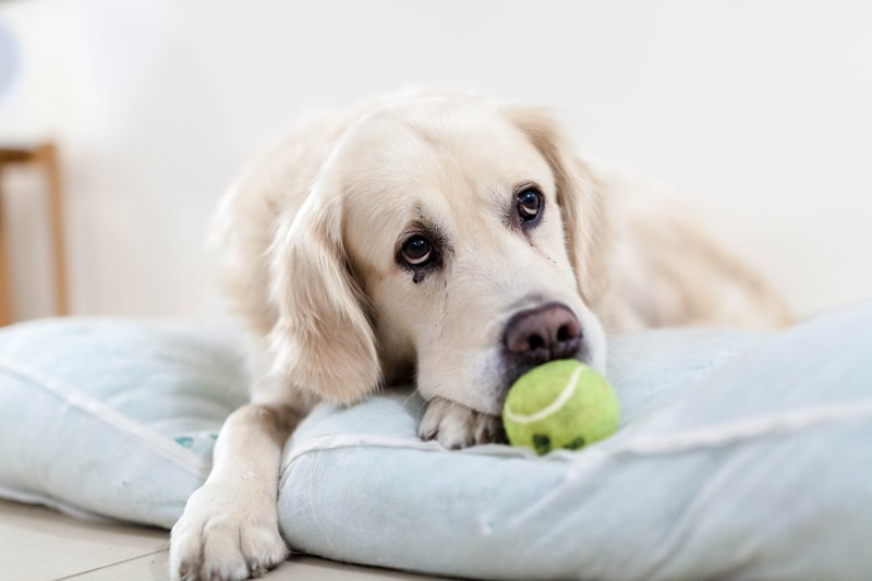 tips for keeping your dog healthy _ golden retriever resting on a bed with a tennis ball