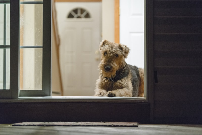 protect your pets from fire while you are not home _ Airedale terrier resting by an open door