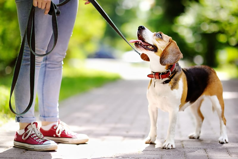 heart-healthy exercise for dogs _ beagle out for a walk