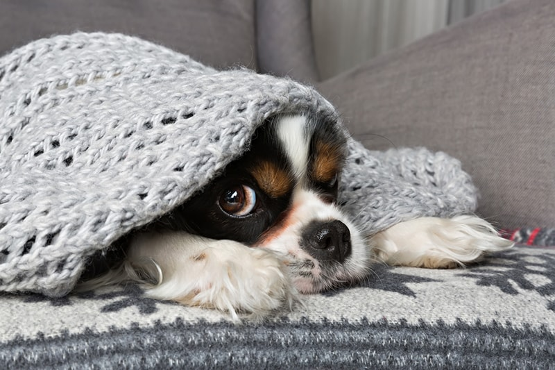 how pet health insurance works _ king charles cavalier spaniel under a blanket