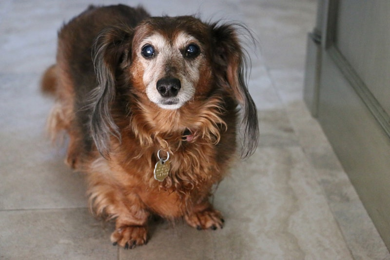 environmental concerns for older pets _ long-haired greying dachshund