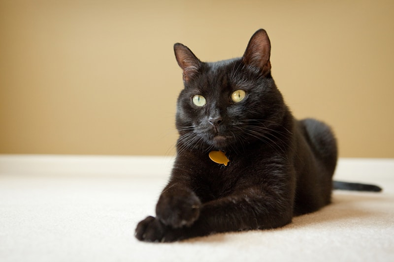 information about adopting a senior pet _ handsome black cat