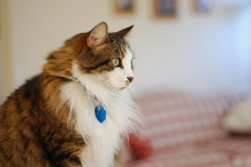 senior pet veterinary care _ fluffy cat looking to the side