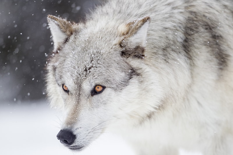 why wolves don't make good pets _ gray wolf outside in the snow