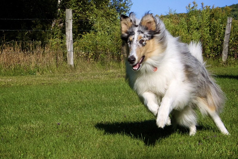 making healthy food choices for your dog _ running and smiling blue merle collie