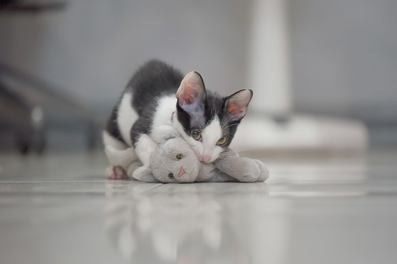 cats versus wildcats _ kitten playing with a stuffed toy