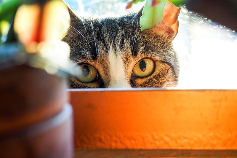 insight into cat behavior _ cat peering from behind a flower pot