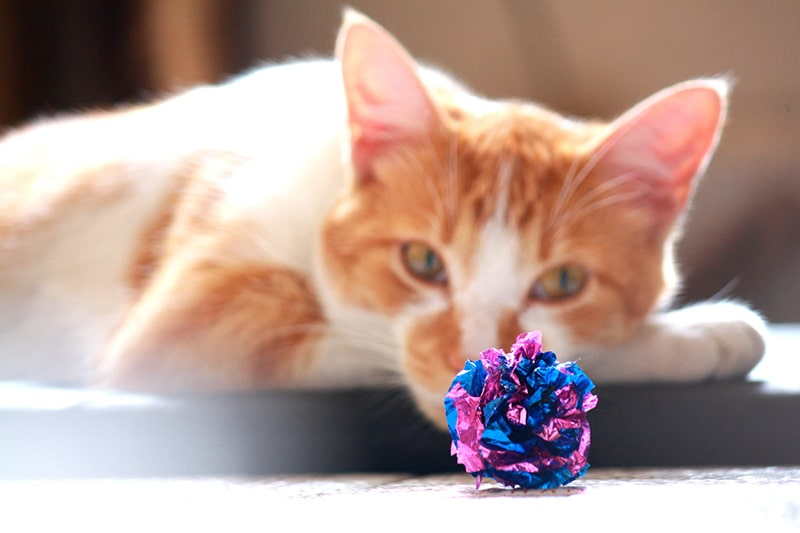 benefits of toys for cats and dogs _ orange and white cat with a blue and purple ball