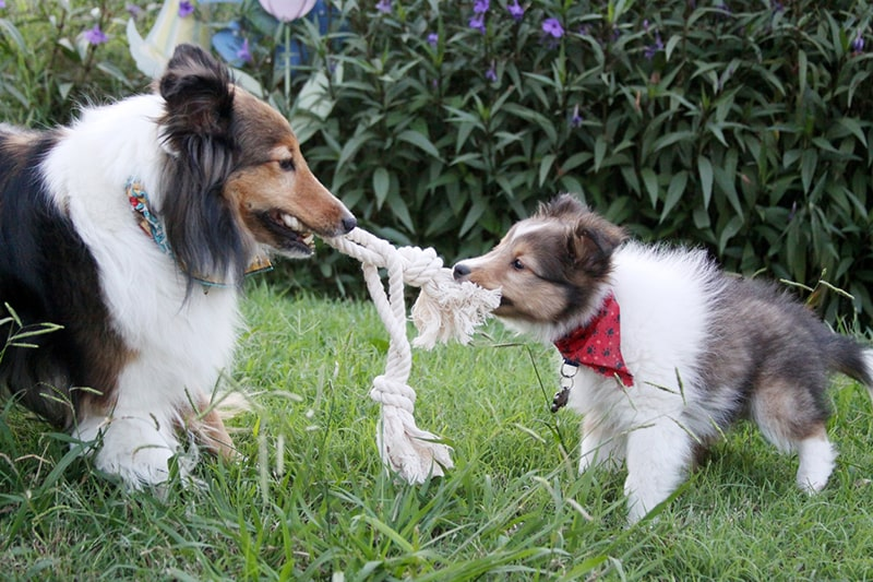 how to make pet toys at home _ Tug Of War Between Adult and Puppy Shetland Sheepdogs