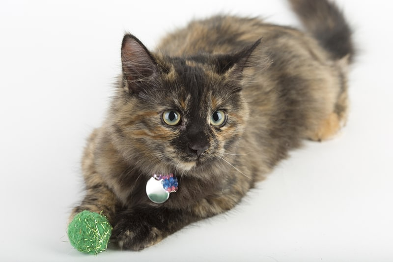 top toys for cats _ tortie cat with a green and gold ball