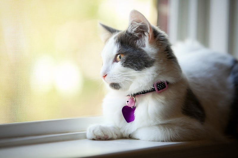 pet health tips for the summer _ Five Month Old Kitten Sitting In Window with a purple tag