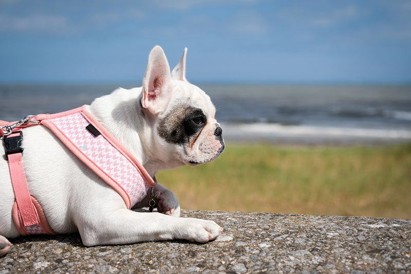 what are hotspots for pets _ French Bulldog puppy with a pink harness on holiday at the beach
