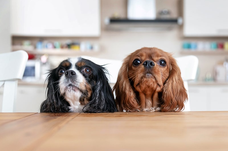 home safety tips for dogs _two spaniels behind a table