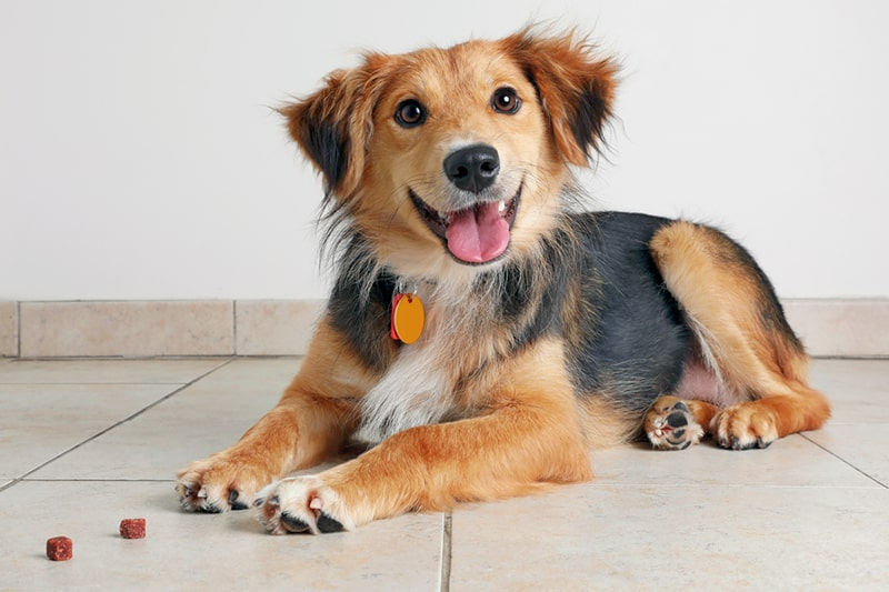 nutrition tips for dogs _ Australian Shepherd Dog hoping to be adopted