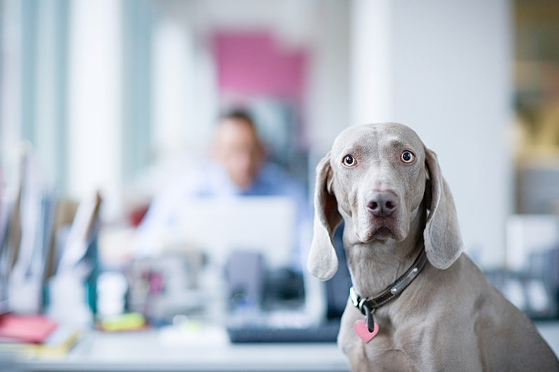 causes of mental health issues in dogs _ weimaraner in office looking skeptical