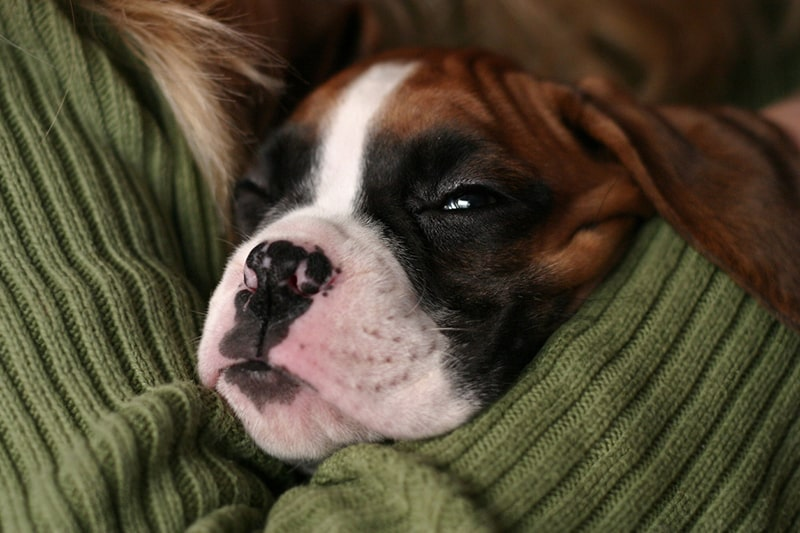 when to seek help for dog mental health issues _ boxer puppy being cuddled by person in a green sweater