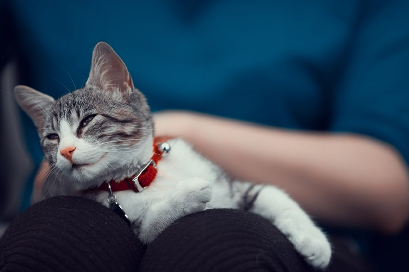 how to give a cat a massage _ relaxed cat with a red collar on a woman's lap