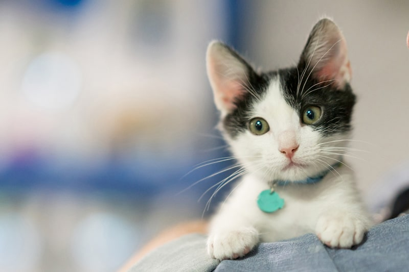 why you should take your cat to the veterinarian regularly _ rescue kitten with a teal tag