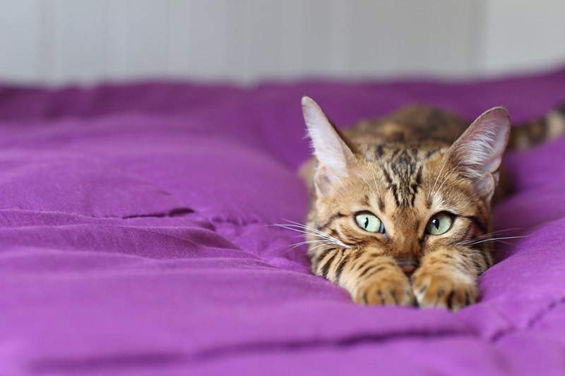 what compulsive behavior looks like in cats _ cat with green eyes on a purple blanket